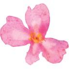 fleur rose aquarelle